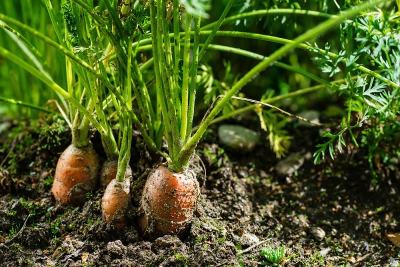 despre plantarea legumelor in gradina. Poza 226