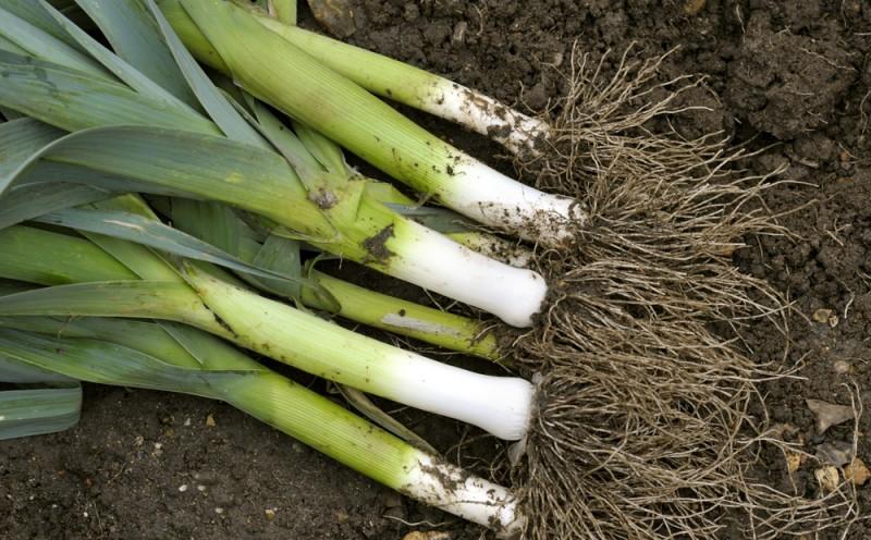 despre plantarea legumelor in gradina. Poza 227