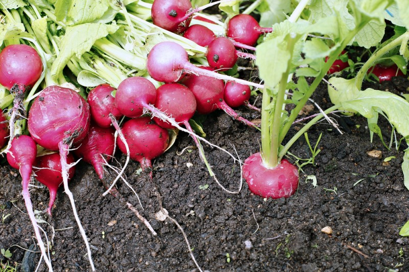 despre plantarea legumelor in gradina. Poza 228