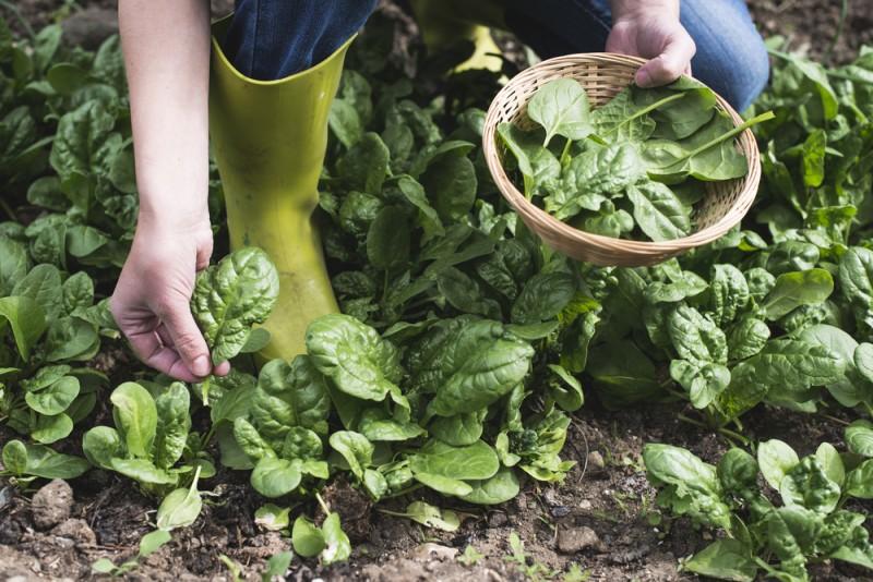 despre plantarea legumelor in gradina. Poza 233