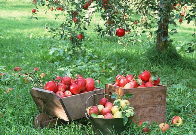 Lucrări de toamnă în grădină și în livadă. Poza 236